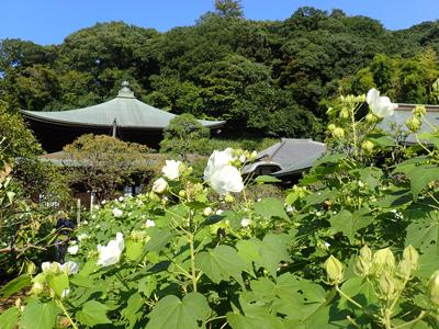 01-05瑞泉寺夏09芙蓉の道.jpg