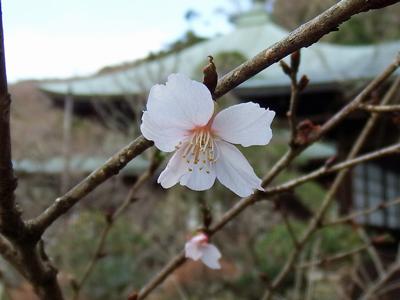 02-05瑞泉寺秋10冬桜2.jpg