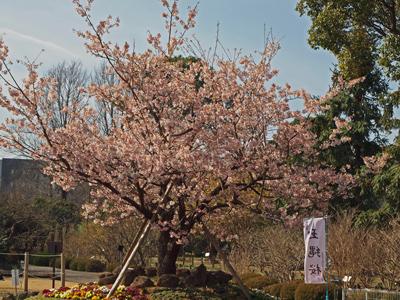 03玉縄桜(樹木).jpg