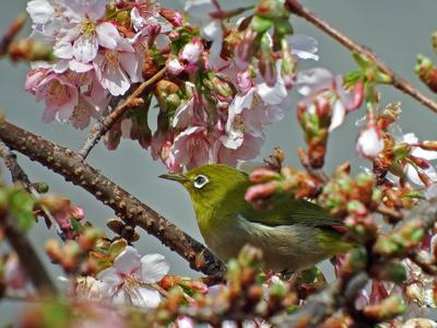05玉縄桜とメジロ.jpg