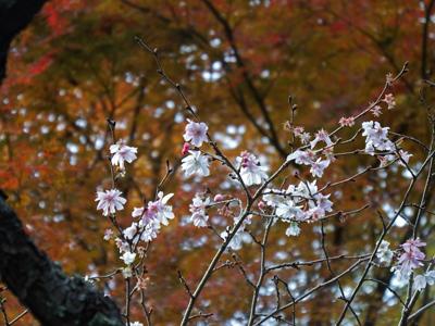 06報国寺冬桜.jpg