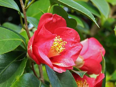 07雄松が里の赤い椿.jpg