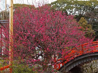 10下鴨神社の光琳の梅.jpg