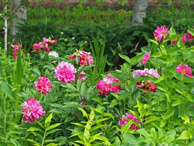 14紫竹ガーデンシャクヤクの花.jpg