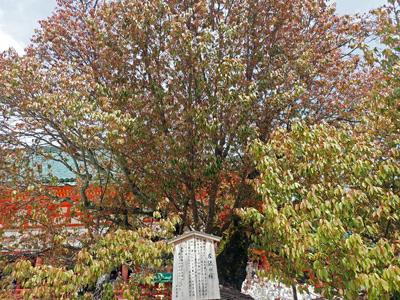 16平安神宮左近の桜.jpg