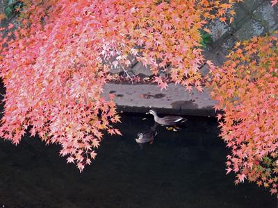 20滑川犬懸橋紅葉とカルガモ.jpg
