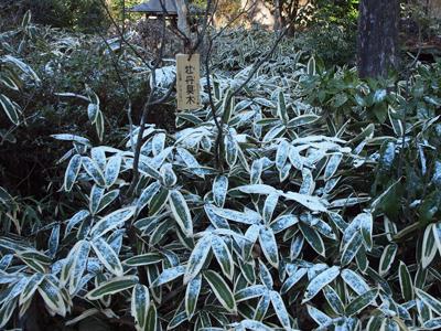 21明月院雪笹.jpg