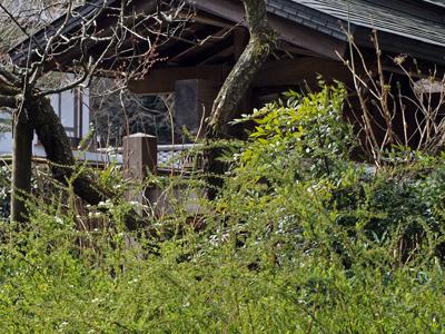 40明月院雪柳.jpg