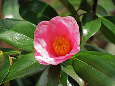 42明月院椿の花.jpg