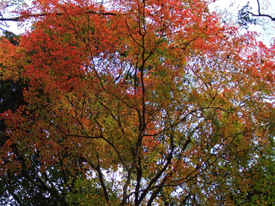 42獅子舞紅葉大樹.jpg