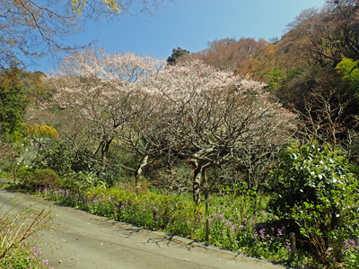 02瑞泉寺下庭園のさくら.jpg