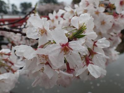 04雨の日のサクラ.jpg