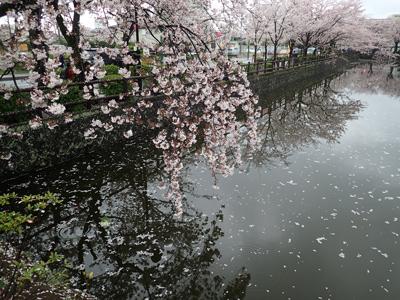 05雨の日のお堀端のサクラ.jpg