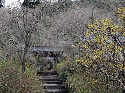 07明月院・サンシュユの花.jpg