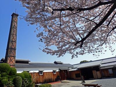 09月桂冠・桜の花咲く.jpg
