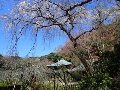 12瑞泉寺本堂としだれ桜.jpg