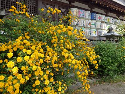 14松尾大社山吹と酒樽.jpg