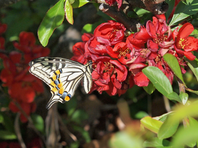 15ボケの花とキアゲハ.jpg