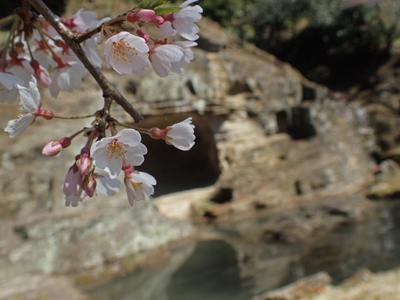 16瑞泉寺庭園の枝垂れ桜1.jpg