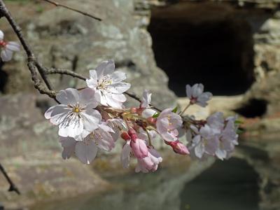 17瑞泉寺庭園の枝垂れ桜2.jpg
