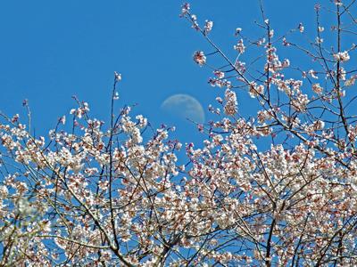 18瑞泉寺の桜と月.jpg