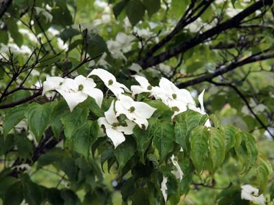 21白いヤマボウシの花.jpg